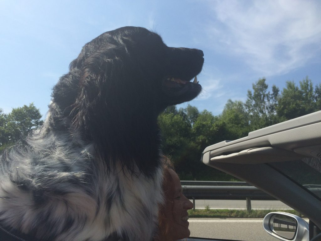 Dog Riding With Open Roof