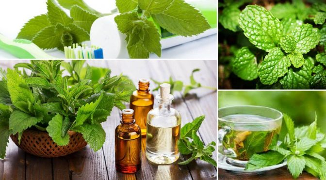 Peppermint Essential Oil Uses – Herbal Health